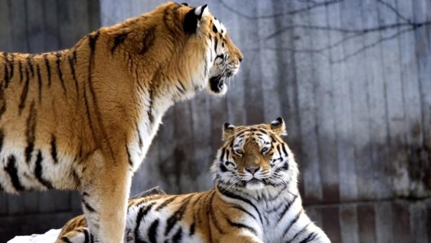tiger-pit